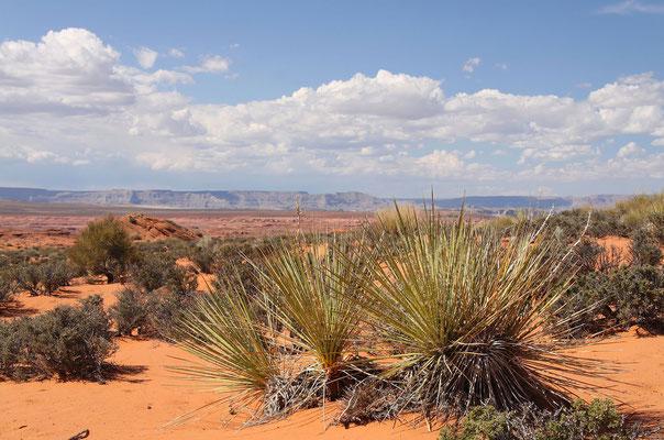 Yucca baileyi © Dr. Christian Zolles
