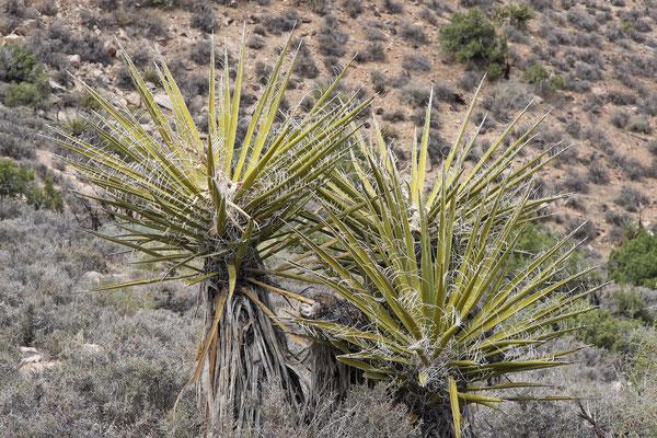 Yucca schidigera (c) Dr. Christian Zolles