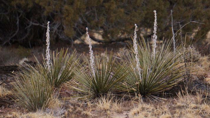 Yucca baileyi © Mike Lewinski