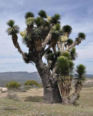 Yucca filifera • Mexico © Bertus Spee