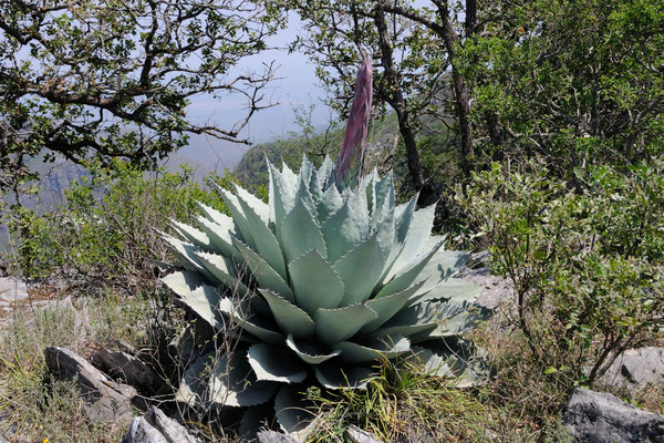 Agave ovatifolia | Sierra Lampazos | Nuevo Leon (c) M. Bechtold