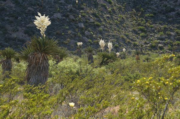 Yucca faxoniana | Dagger Flat (c)