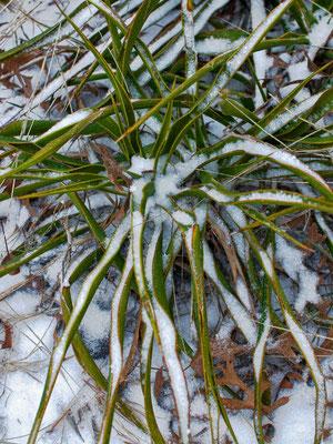 Yucca rupicola (c) Don J. Schulte