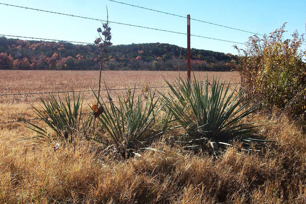 Yucca necopina | Somervell county | Texas (c) David Richardson