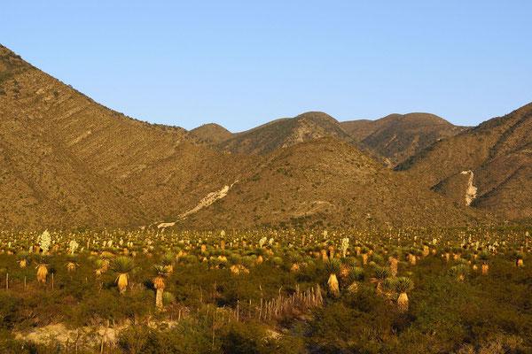 Yucca carnerosana © Sergio Niebla