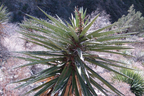 Yucca faxoniana | Oliver Lee State Park | Dog Canyon | NM (c) Andreas Deus