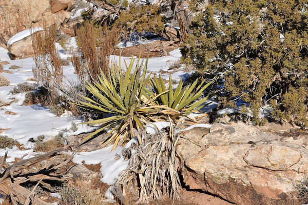 Yucca baccata La Sal Mountains/UT (c) Karsten Horn