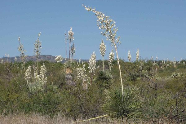 Yucca elata |  San Manuel | AZ