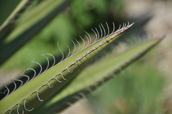 Yucca faxoniana | Blattdetail (c) Thomas Boeuf