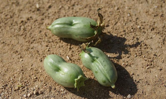 Yucca capensis • Früchte (c) B. Spee
