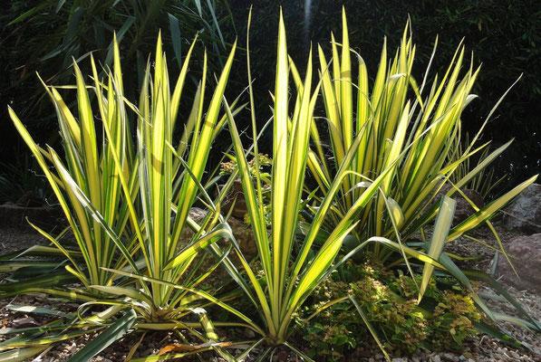 Yucca 'Golden Sword' (c) Christoph