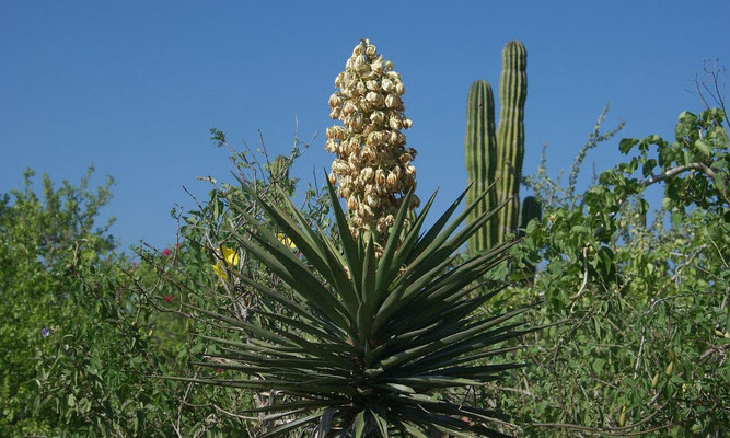 Yucca capensis • Along the road to Santa Gertrudis • Baja California Sur (c) B. Spee