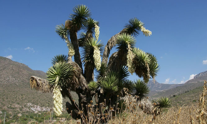 Yucca filifera • Hidalgo • Mexico © Bertus Spee