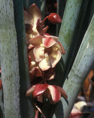 Yucca endlichiana - Blüte  © Michael Bechtold