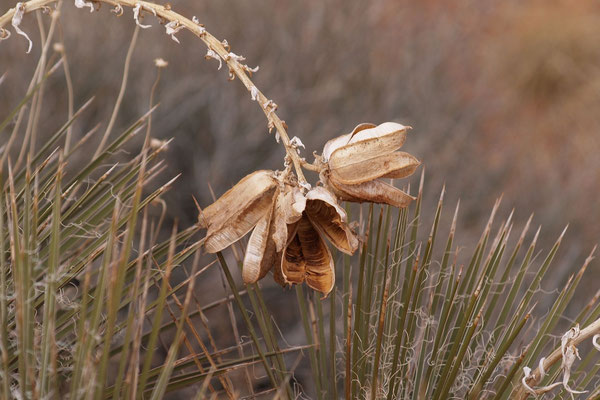 Yucca baileyi © Klaus Werner