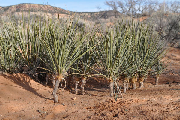 Yucca angustissima var. kanabensis © Karsten Horn
