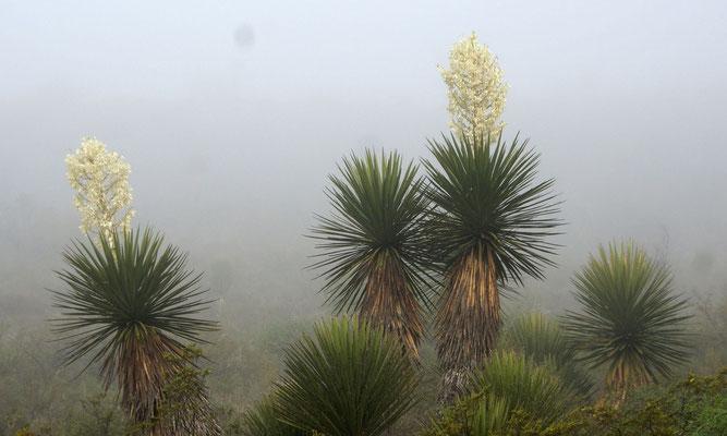 Yucca carnerosana • Hidalgo• Mexico © Sergio Niebla