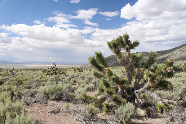 Yucca brevifolia (c) Dr. Christian Zolles