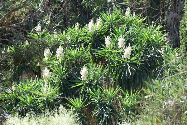 Yucca elephantipes (Yucca guatemalensis) auf Korfu