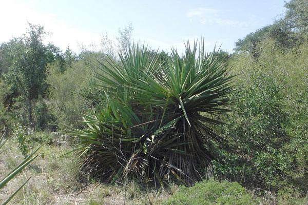 Yucca treculeana | Texas (c) D. Richrdson