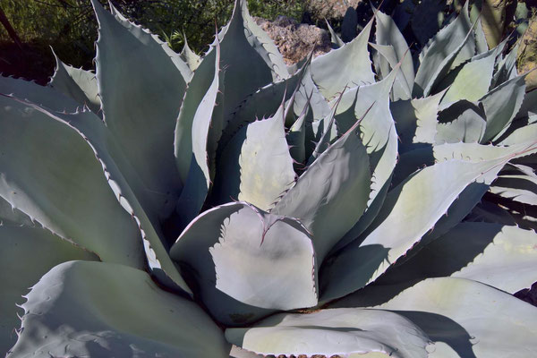 Agave ovatifolia  (c) M. Hector