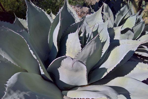 Agave ovatifolia  (c) M. Hector