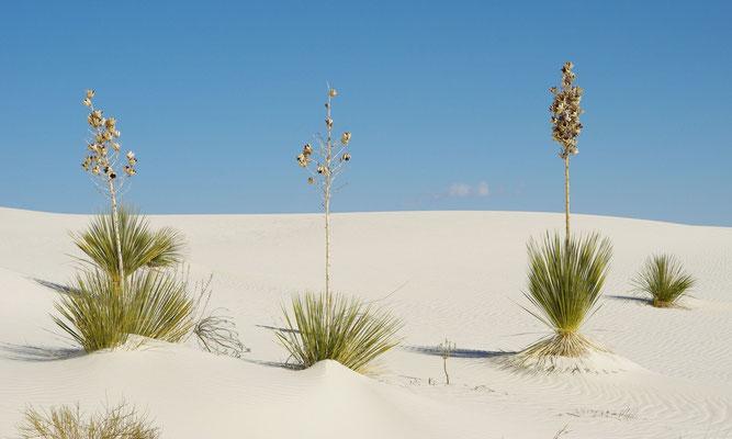 """Yucca elata """"White Sands"""" © Scheidle"""