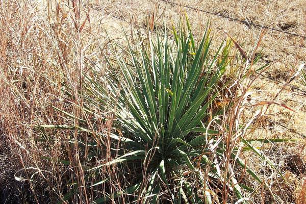 Yucca necopina   Somervell county   Texas (c) David Richardson