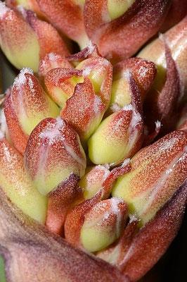 Yucca endlichiana (c) Michael Bechtold