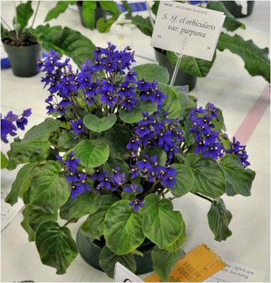 S. 5f. cl. orbicularis var. purpurea - Ph. P. Jago ©