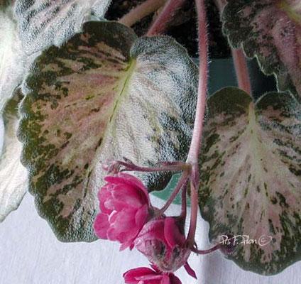 Mosaic foliage - Ph: F. Pilon ©