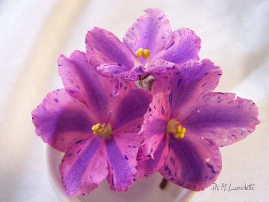 Fleur de type 'chimère et fantaisie' - ¨Ph: F. Pilon ©