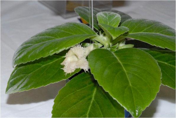 Alsobia sp. chiapas - Ph. P. Jago ©