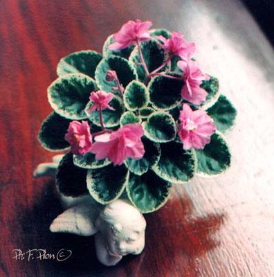 Merrillee, miniature - Ph: F. Pilon©