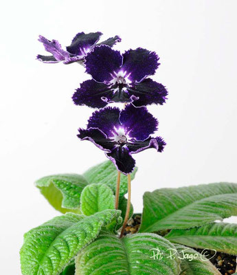 "Streptocarpus ""Ink Blot"" - Ph: P. Jago©"