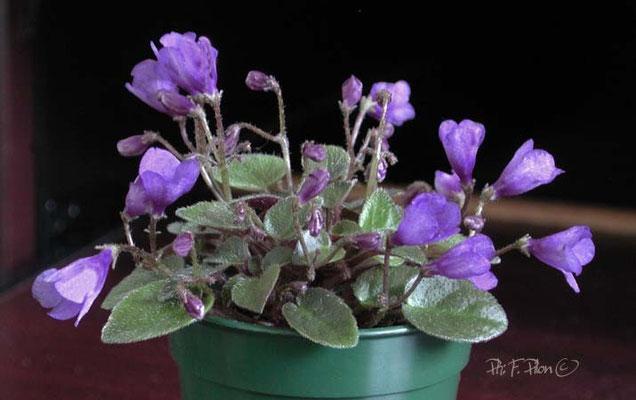 Fleur type 'cloche' - Ph: F. Pilon ©