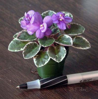 Shy Blue, semiminiature miniaturized - Ph: F. Pilon©