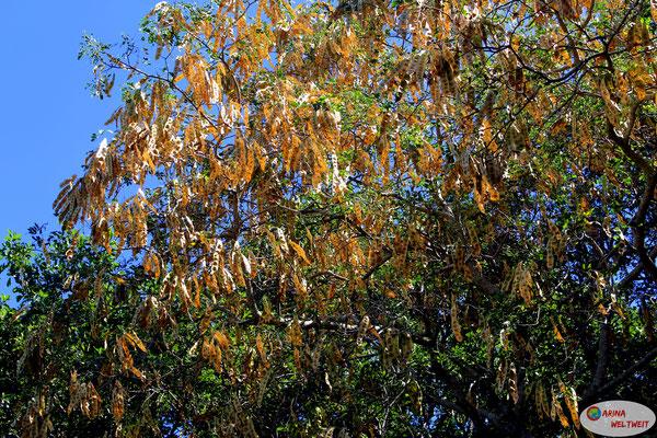 Tamarindenbäume