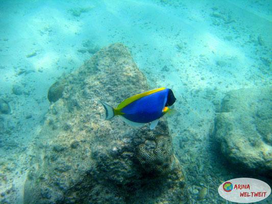 Weißkehl-Doktorfisch (Hi, Dory!) und Steinkorallen