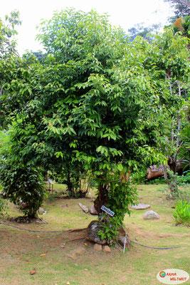 So sieht ein Zimtbaum aus.