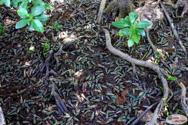 Das sind keine Samen oder Früchte, die vom Baum gefallen sind. Das sind Schneckenhäuser.