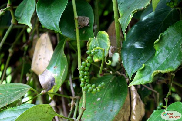 So wächst tatsächlich Pfeffer... schwarz werden die Früchte erst nach dem Trocknen.