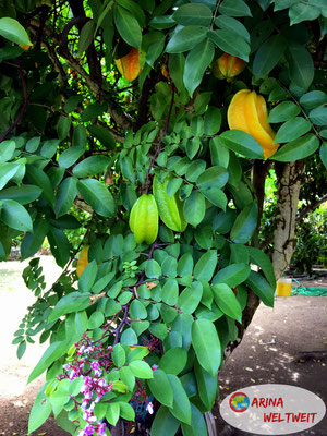 Karambolenbaum (Sternfrucht)