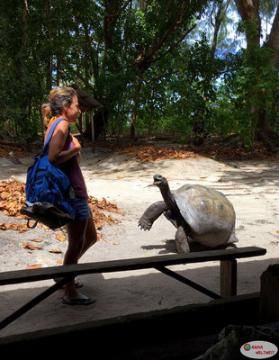 Die Dame war etwas verängstigt und wusste nicht so recht, wie sie an der Schildkröte vorbeikommen soll. Die sind ja auch viel schneller unterwegs als man vermuten würde...