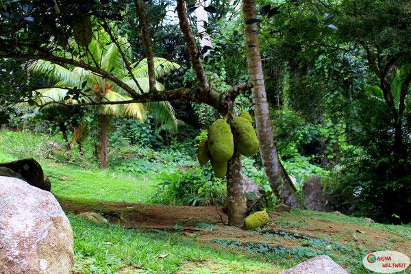Wenn dir eine solche Jackfruit auf den Kopf fällt, hast du verloren. Die waren so unfassbar riesig. Ich wusste gar nicht, dasss die so groß werden können...