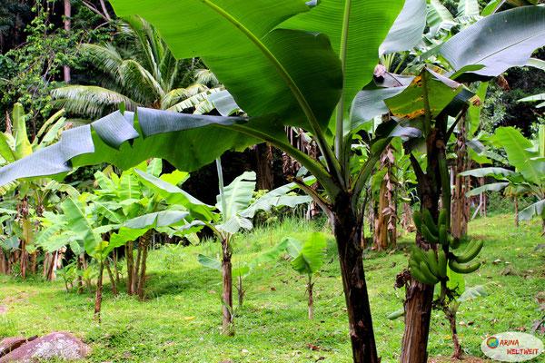 Bananenstauden über Bananenstauden