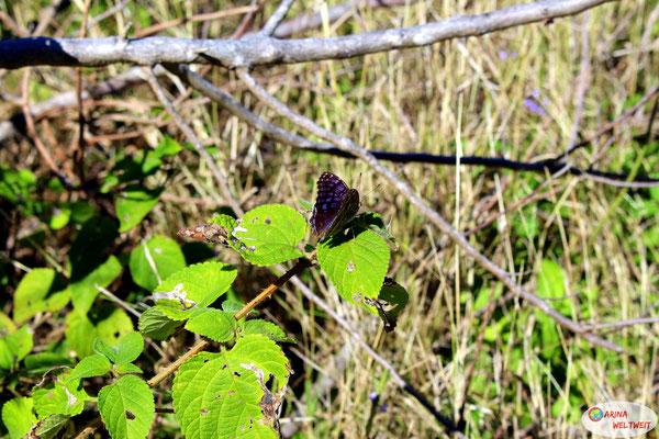 Von diesen hübschen lila Schmetterlingen fliegen hier ganz viele herum.