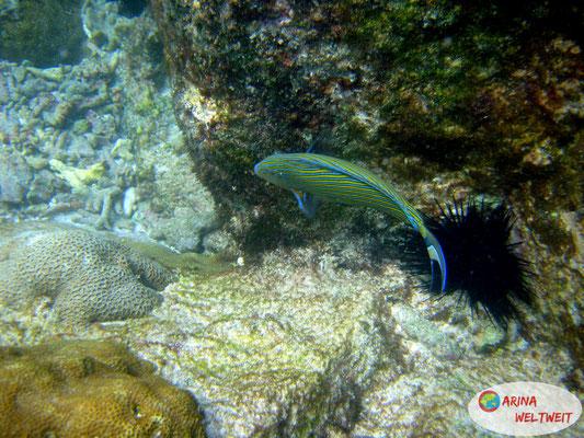 Blaustreifen-Doktorfisch & Seeigel