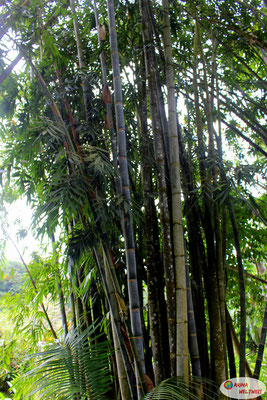 So viel Bambus...