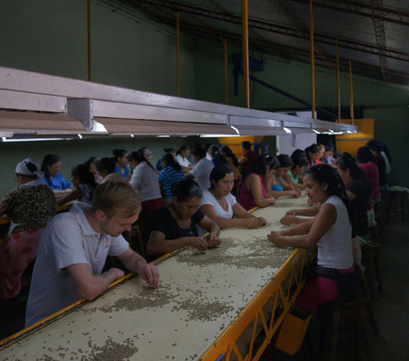 Sorting green coffee beans  (Photo credit: BSOC)
